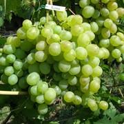 Саженцы винограда Кеша фото