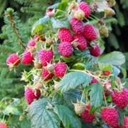 Плоды малины фото