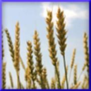 Пшеница, Пшеница фото