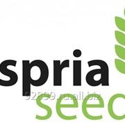 Семена подсолнечника зарубежной селекции Асприя Сидс (Aspria Seeds) - классика и OR7 фото