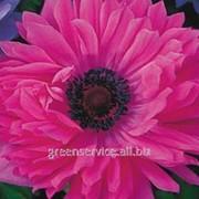 Анемона St. Brigid Pink 8/+ фото