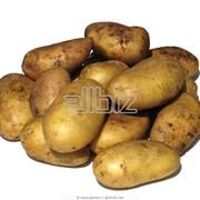 Картофель купить в России фото