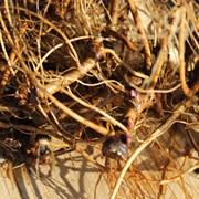 Корень Эхинацеи пурпурной фото