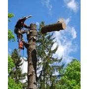 Обрезка старых плодоносящих деревьев, Киев фото