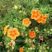 Лапчатка кустарниковая Potentilla f. Hopley`s Orange, h см 30-40 фото