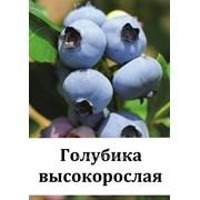 Голубика канадская высокорослая (черника садовая) Эрли Блу (VacciniumcorymbosumEarliblue) , саженцы в контейнере, возраст саженцев 1 год фото