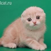Шотландские котята фолды и страйты фото