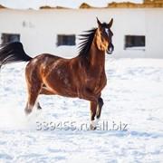 Арабская лошадь (кобыла) фото