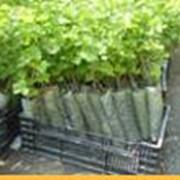 Саженцы винограда FV 3-15 (Элегант сверхранний) фото