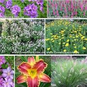 Цветы от я производителя многолетних цветов для сада, декоративных трав и пряных растений. фото