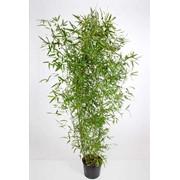 Саженцы бамбука: Phyllostachys bissetii. 2,5 л. фото