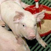 Товарное свиноводство фото