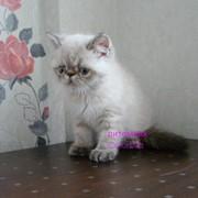 Экзотический котенок (сил-линкс-пойнт) фото