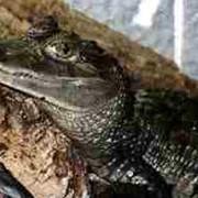 Крокодил каймановый 120см фото