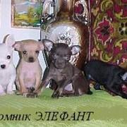 Щенки собак редкого карманного размера
