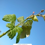 Черенки винограда фото