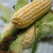 Семена кукурузы Pioneer corn фото
