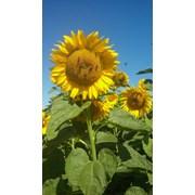 Вибір насіння соняшника на посів у 2020 році. фотография