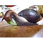 Логотип компании Achatina For Me Гигантские африканские улитки Ахатины и Архахатины (Запорожье)