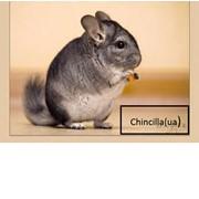 Логотип компании Chinchilla(ua) -Племенное хозяйство шиншилл (Хуст)