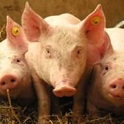 Свинина охлажденная в полутушах фото