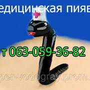Пиявка медицинская (г.Полтава) фото