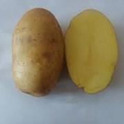Картофель семенной Уладар Элита фото