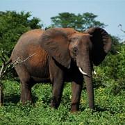 Охота на слона в Ботсване фото