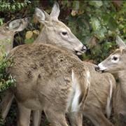 Охота на белохвостого оленя и дикого кабана в Мексике фото