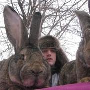 Супер кролики из Европы (Фландр, Ризен, Обер) Новые линии фото