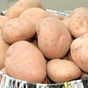 Картофель Фелицитас (краснокожурный) фото