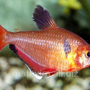 Рыбки Минор фото