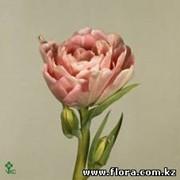 Тюльпан Angelique фото