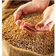 Зерновых культур(пшеница, ячмень,рапс, кукуруза, подсолнух, соя) фото