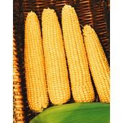 Семена сладкой кукурузы Мегатон F1 фото