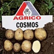 Картофель АГРИКО Космос (Cosmos) - среднеспелый фото