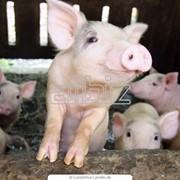 Свиньи для разведения стада,Свиньи племенные фото