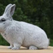 Продажа племенных кроликов Cеребристой породы фото