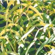 Лист эвкалипта прутевидного (Folium Eukalypti) фото