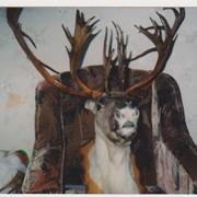 Чучело головы чукотского оленя с рогами фото