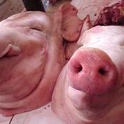 Головые свиные фото