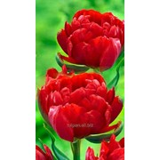 Тюльпаны Абба (Tulip Abba) к 8 марта фото