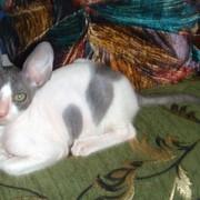 Малыши кудрявой кошки Корниш рекс из питомника в Краснодаре. фото