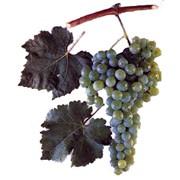 Виноград сорт Золотистый устойчивый фото