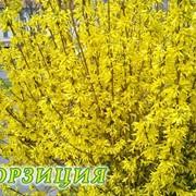 Цветы форзиция фото