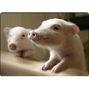 Комбикорма для свиней фото
