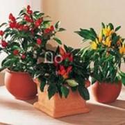Семена декоративных растений, семена перца декоративного фото