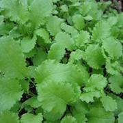 Семена горчицы листовой Прима фото
