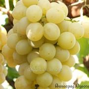 Виноград Италия Мускат привитый на Кобер 5бб фото