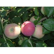 Яблоки летних сортов на экспорт фото
